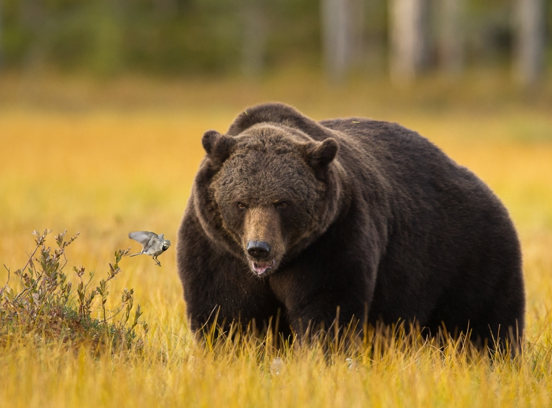 Web-Norden-Brown Bear