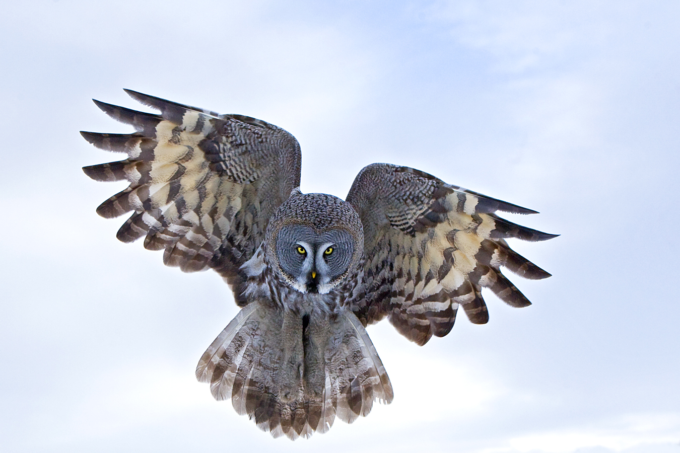 Great Grey Owl Flying You be the Judge: Flig...