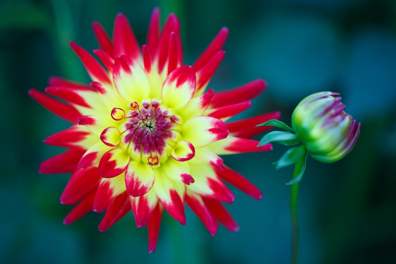dahlia-and-bud-_a1c0116-swan-island-dahlia-farm-canby-or