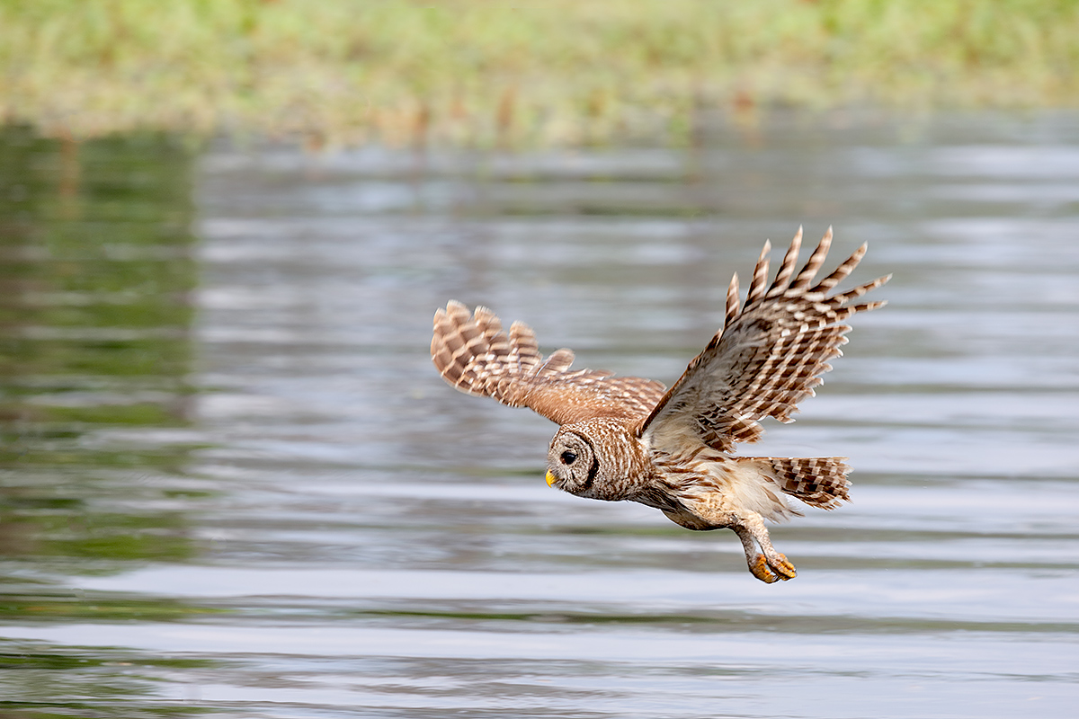 barred-owl-flying-low-across-lake-_a1c9713-lake-blue-cyrpess-indian-river-county-fl