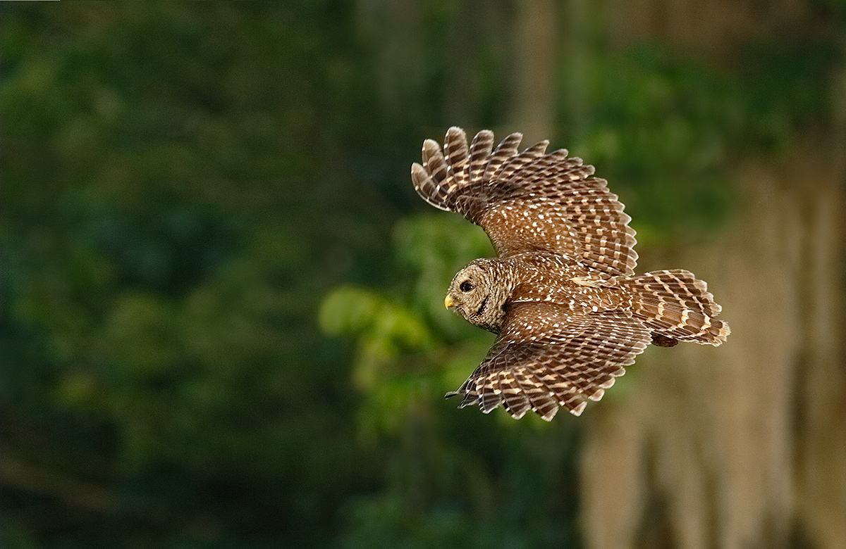 barred-owl-in-flight-_y5o8313-lake-blue-cyrpess-indian-river-county-fl