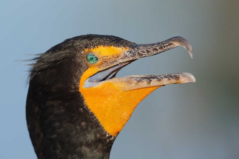 double-crested-cormorant-gular-panting-_q8r7002-anhinga-trail-everglades-national-park-fl