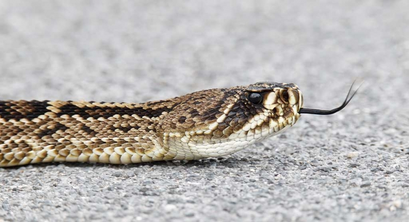 eastern-diamondback-rattlsenake-on-road-_y9c3359-indian-lake-estates-fl