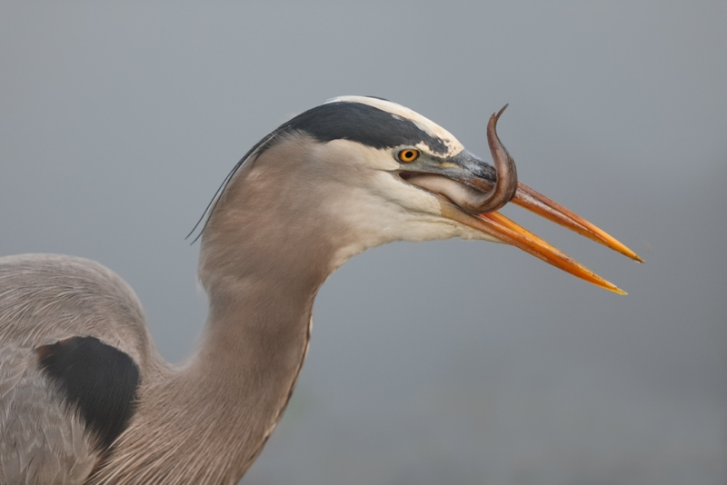 great-blue-heron-with-prey-item-_a1c9134-anhinga-trail-everglades-national-park-fl