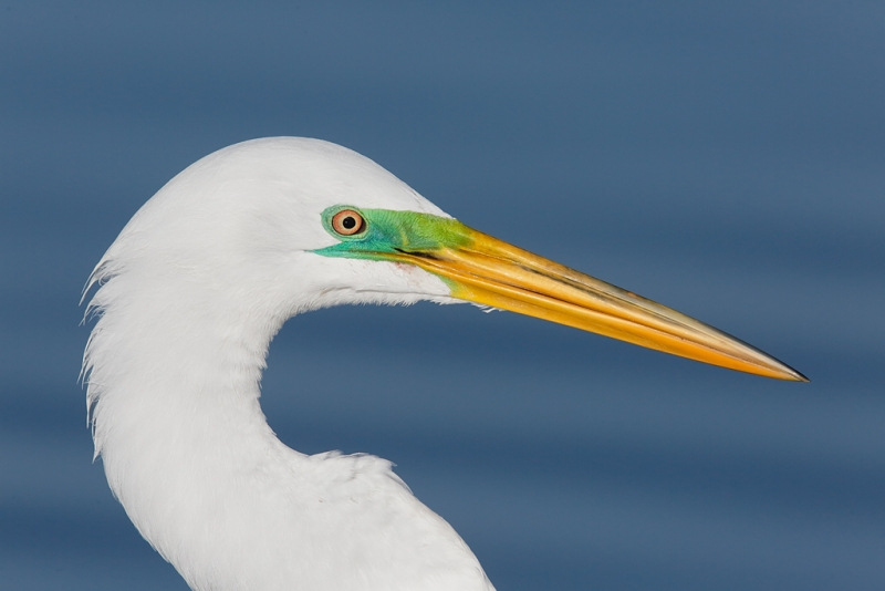great-egret-breeding-plumage-head-portrait-_a1c9461-little-estero-lagoon-fort-myers-beach-fl