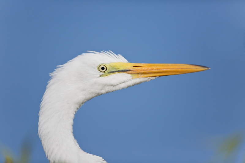 great-egret-fledged-young-head-portrait-_a1c0463-gatorland-kissimmee-fl