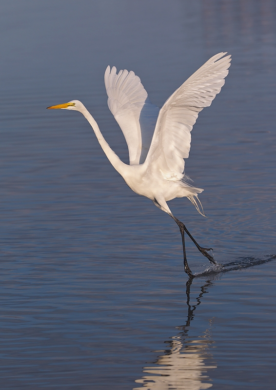 great-egret-lifting-off-white-neutralizer-_90z1503-little-estero-lagoon-fort-myers-beach-fl