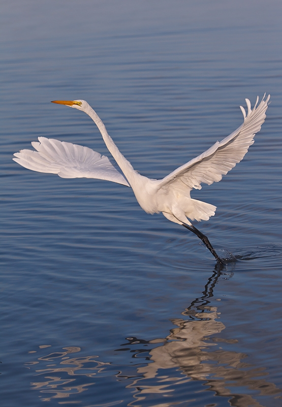 great-egret-taking-flight-baited-_90z1505-little-estero-lagoon-fort-myers-beach-fl