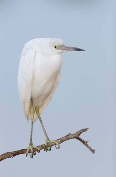 little-blue-heron-one-year-old-_09u9592-venice-rookery-south-venice-fl