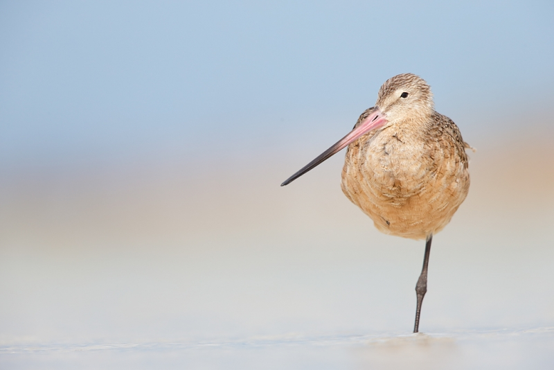 marbled-godwit-standing-on-one-leg-_q8r4980-fort-desoto-park-st-petersburg-fl