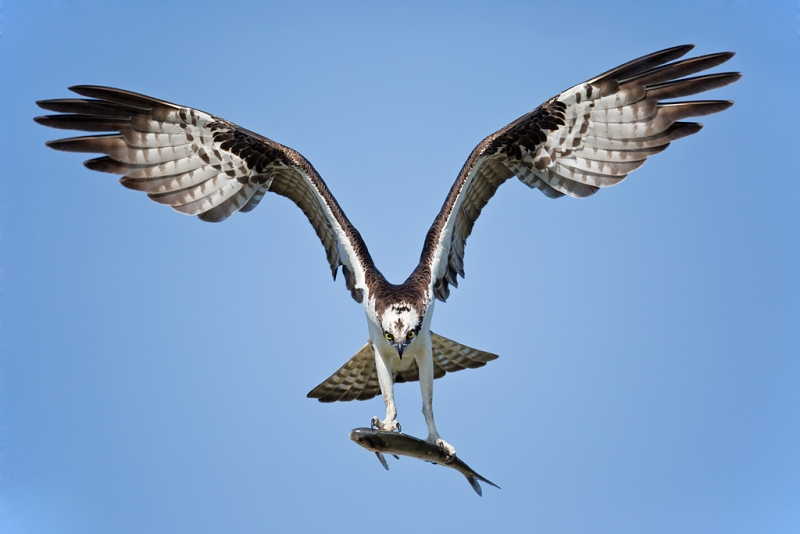 osprey-landing-with-fish-_a1c0208-indian-lake-estates-fl