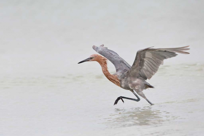 reddish-egret-fishing-w-wings-raised-_q8r4404-fort-desoto-park-st-petersburg-fl