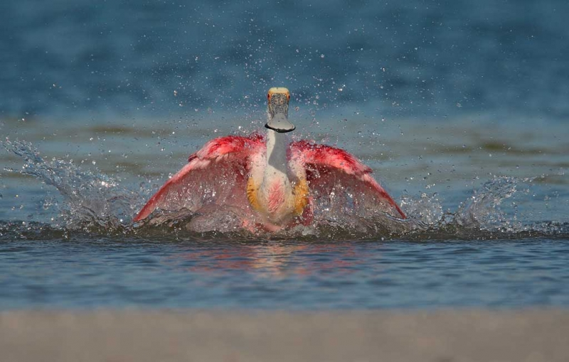 roseate-spoonbill-flapping-during-bath-_10j8831-alafia-banks-tampa-bay-fl