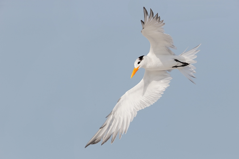 royal-tern-wheeling-in-flight-600-ii-handheld-_09u2694-fort-desoto-park-pinellas-county-fl