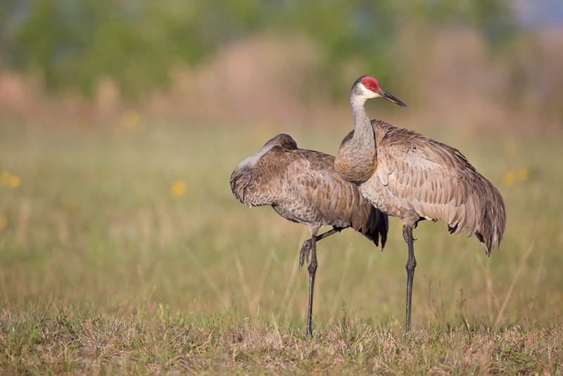 sandhill-crane-pair-_a1c0003-indian-lake-estates-fl