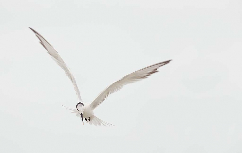 sandwich-tern-winter-plumage-fishing-_q8r4508-fort-desoto-park-st-petersburg-fl