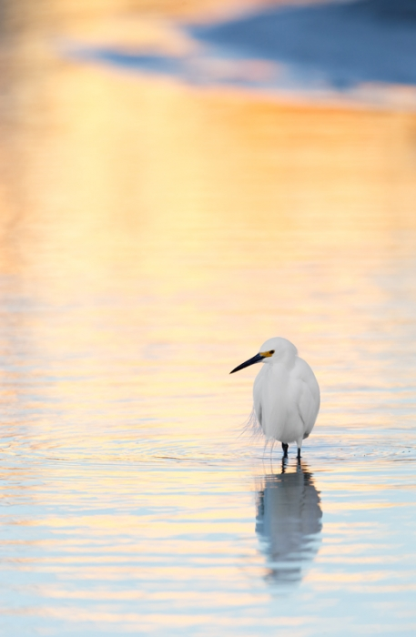 snowy-egret-in-pre-dawn-reflections-_09u8775-little-estero-lagoon-fort-myers-beach-fl
