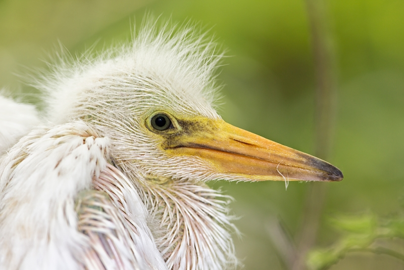 snowy-egret-large-chick-in-nest-_a1c6054-gatorland-kissimmee-fl