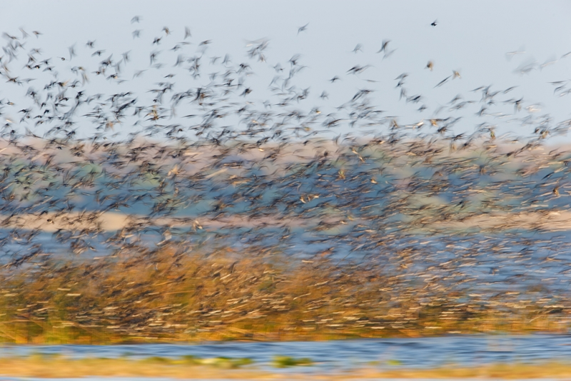 tree-swallow-flock-blur-ii-_09u3202-indian-lake-estates-fl