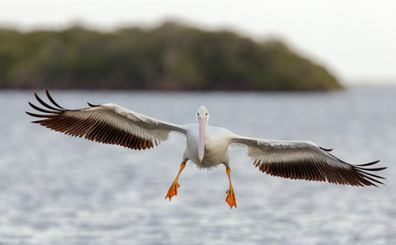 white-pelican-incoming-breaking-in-flight-_q8r7818-placida-fl