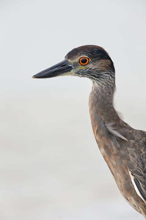 yellow-crowned-night-heron-nik-40-17-_q8r4338-fort-desoto-park-st-petersburg-fl