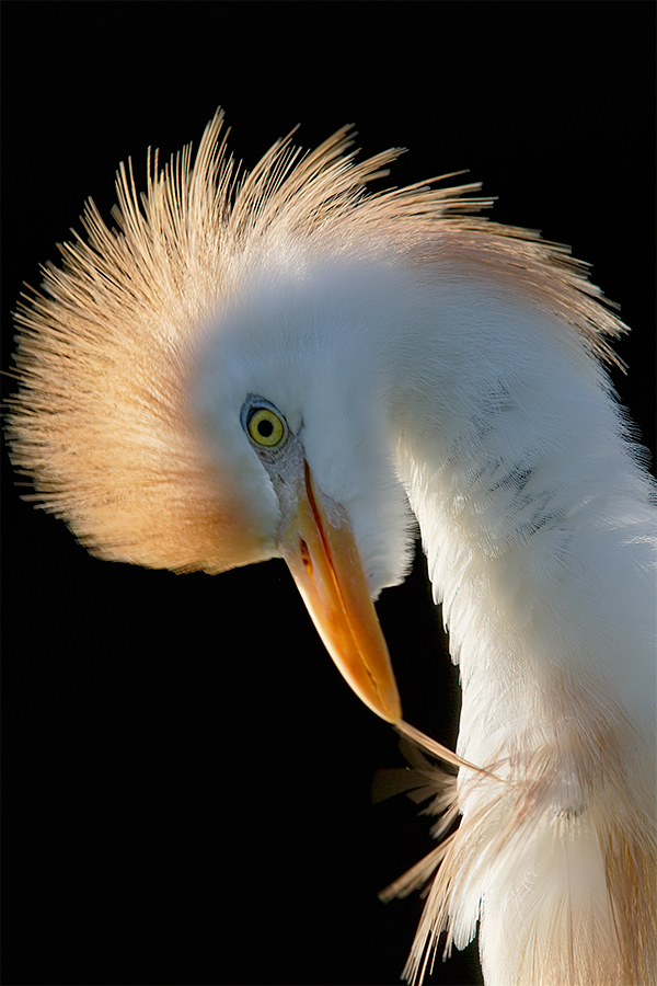 cattle-egret-backlit-preening-no-flash-_a1c2578-gatorland-kissimmee-fl