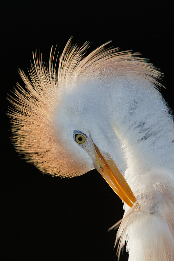 cattle-egret-backlit-preening-with-flash-_a1c2577-gatorland-kissimmee-fl