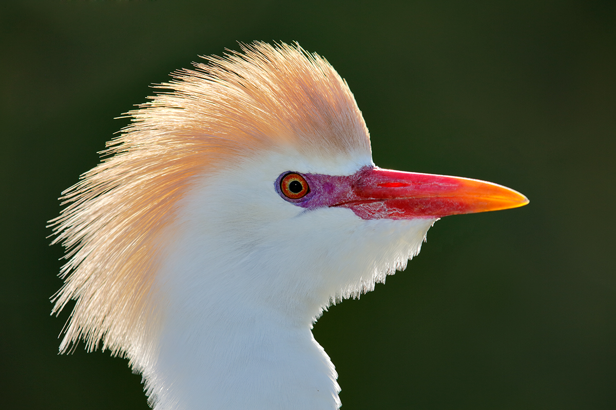 cattle-egret-head-backlit-breeding-plumage-_a1c9997-gatorland-kissimmee-fl_0
