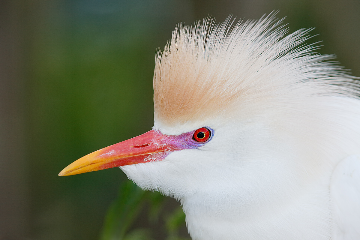 cattle-egret-head-breeding-plumage-_a1c0012-gatorland-kissimmee-fl