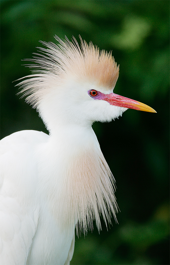 cattle-egret-in-breeding-plumage-3-4-portrait-clean-dark-backround-l8x6272-st-augustine-alligator-farm-st
