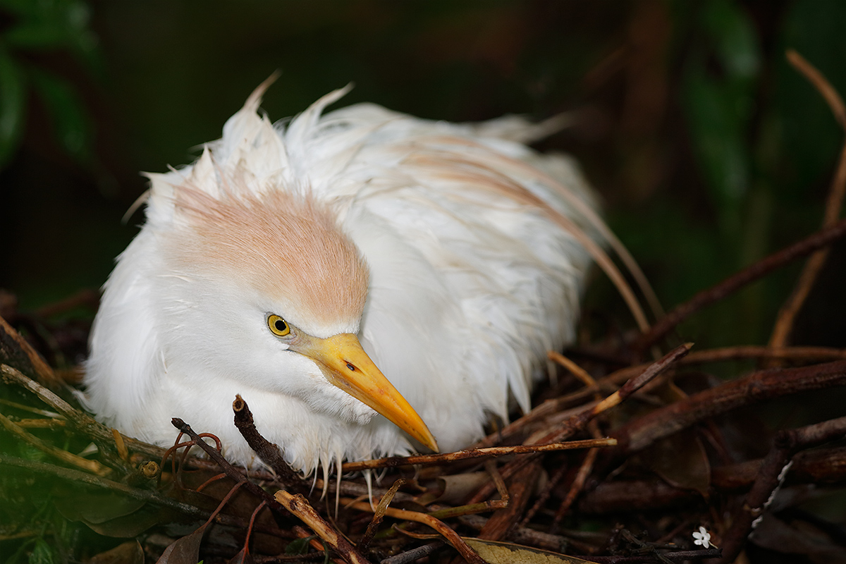 cattle-egret-on-nest-fill-flash-_a1c9450-gatorland-kissimmee-fl