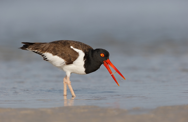 american-oystercatcher-with-prey-item-_09u8024-fort-desoto-park-pinellas-county-fl