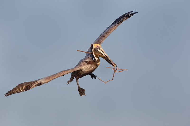 brown-pelican-with-nesting-material-_09u5327-alafia-banks-tampa-bay-fl