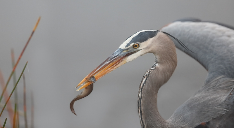 great-blue-heron-with-prey-item-_a1c9085-anhinga-trail-everglades-national-park-fl