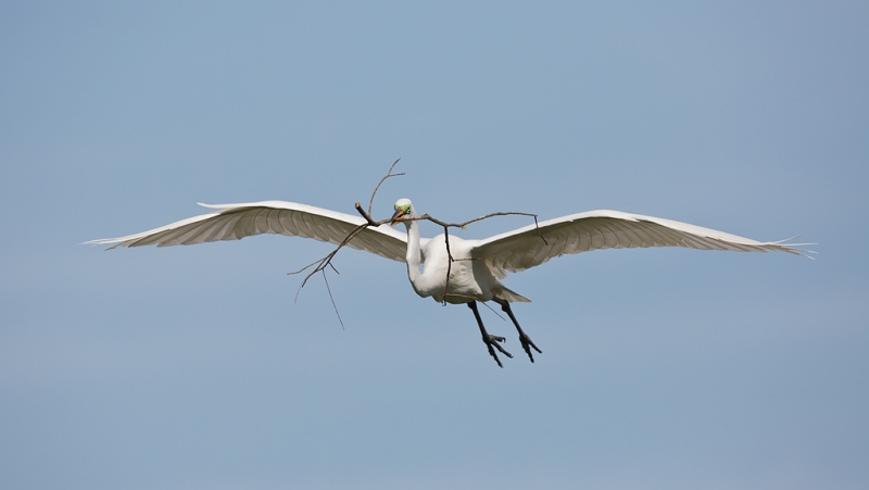 great-egret-with-nesting-material-_a1c0537-gatorland-kissimmee-fl