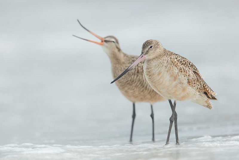 marbled-godwits-breeding-and-non-breeding-bill-colors-_09u0132-fort-desoto-park-pinellas-county-fl