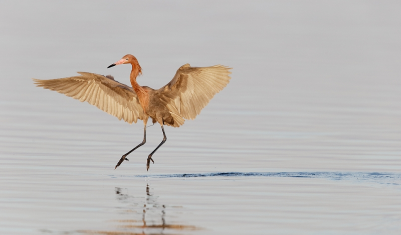 reddish-egret-drunken-sailor-fishing-strategy-_09u7126-fort-desoto-park-pinellas-county-fl