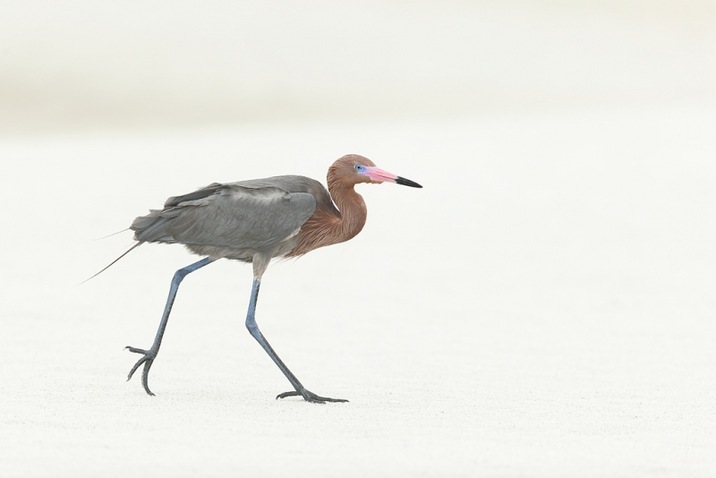 reddish-egret-striding-across-sand-flat-_09u0293-fort-desoto-park-pinellas-county-fl