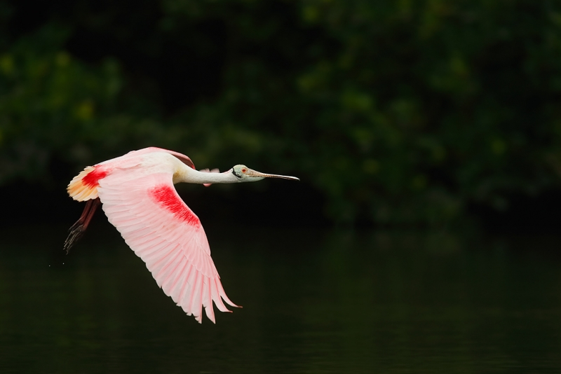 roseate-spoonbill-in-flight-iso-1600-600-ii-2-2x-iii-tc-_09u9919-alafia-banks-tampa-bay-fl