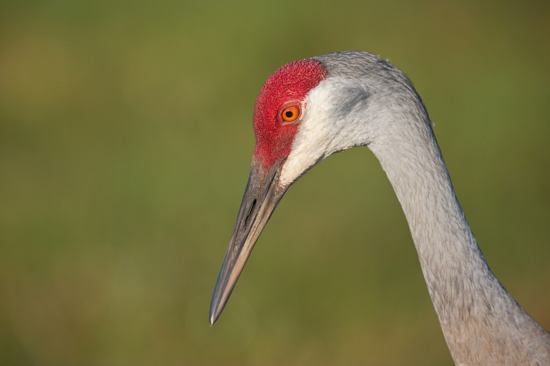 sandhill-crane-head-portrait-_u1c0465-indian-lake-estates-fl