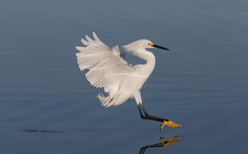 snowy-egret-stretching-to-land-_09u0566-little-estero-lagoon-fort-myers-beach-fl