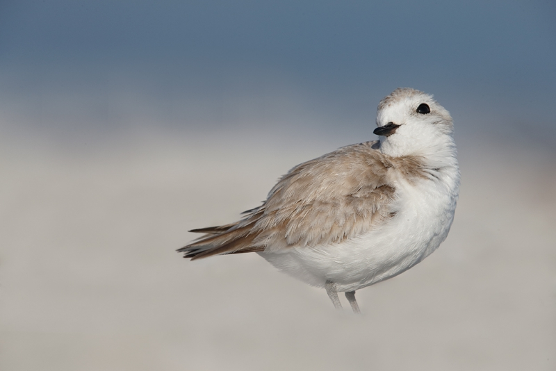 snowy-plover-female-looking-coy-_q8r7322-east-gulf-drive-sanibel-fl