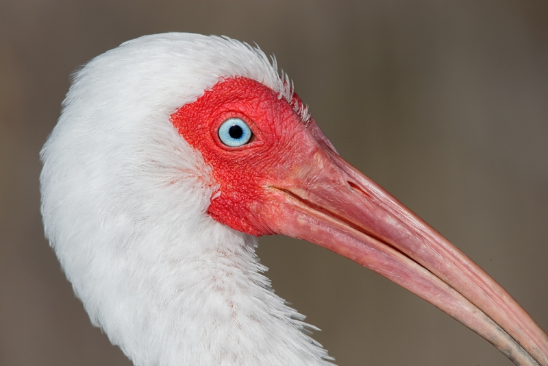 white-ibis-tight-face-portrait-_09u4090-fort-desoto-park-pinellas-county-fl