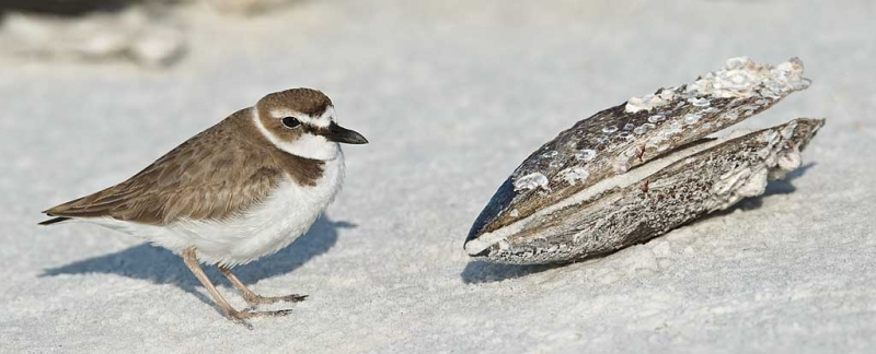wilsons-plover-with-horse-mussel-_y9c1143-little-estero-lagoon-fort-myers-beach-fl