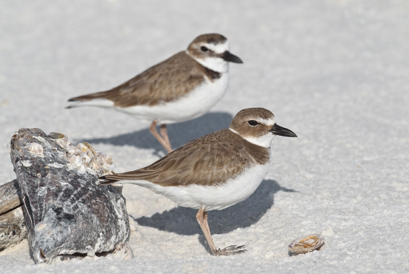 wilsons-plovers-by-horse-mussel-_y9c1201-little-estero-lagoon-fort-myers-beach-fl