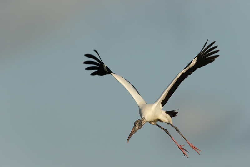 wood-stork-landing-_09u1015-dit-dot-dash-rookery-bradenton-river-fl