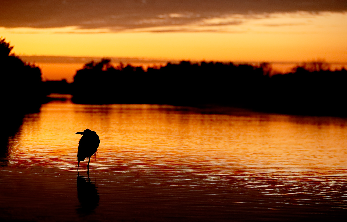 great-blue-heron-at-sunrise-_y5o4163-litttle-estero-lagoon-fort-myers-beach-fl