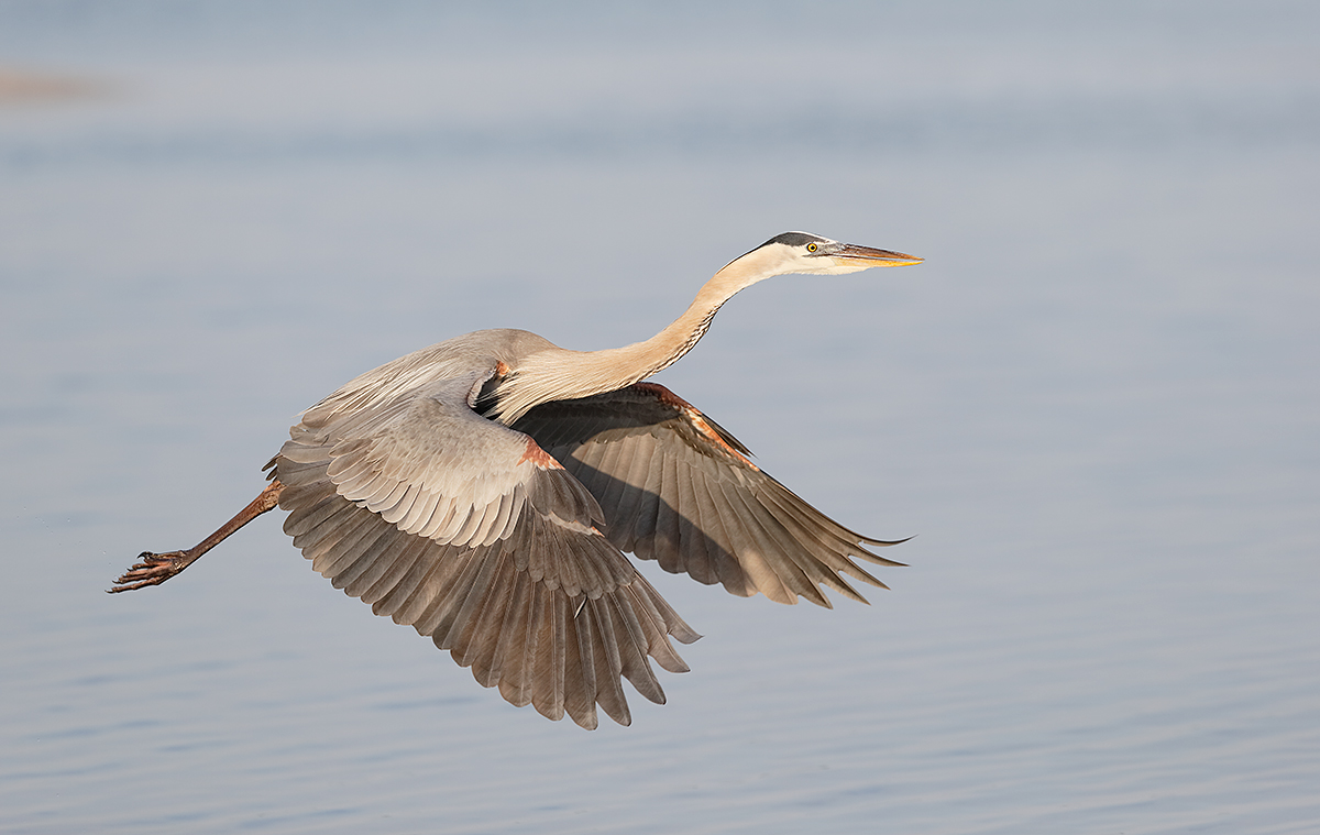 great-blue-heron-in-flight-full-downstroke-_y7o3617-fort-desoto-park-st-petersburg-fl