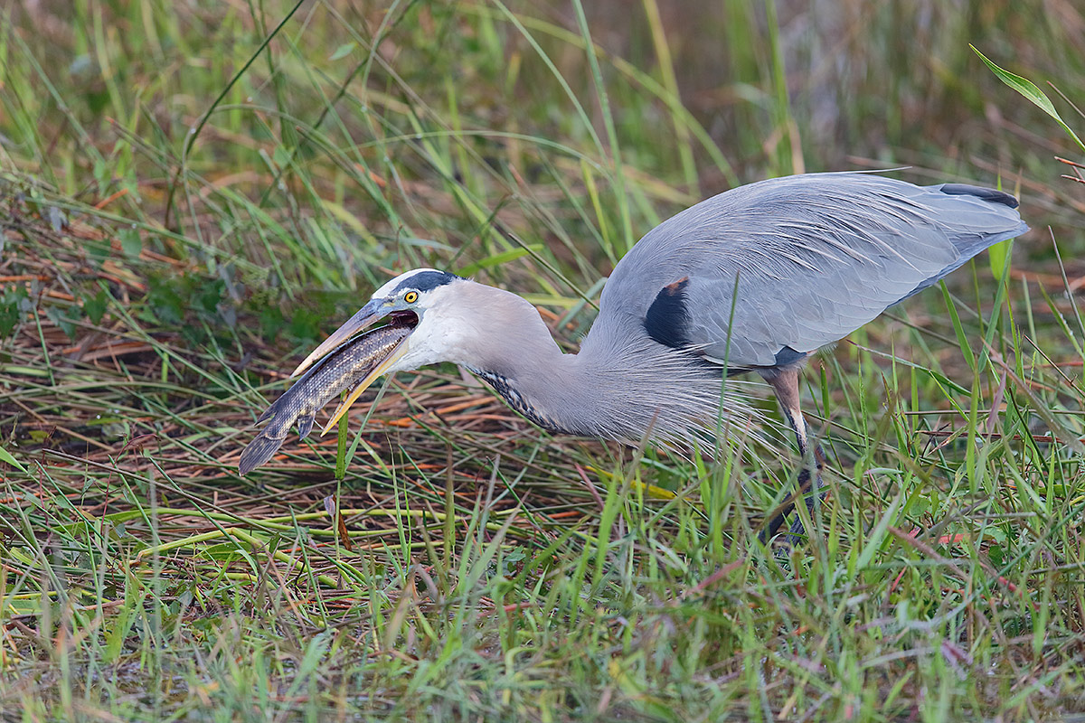great-blue-heron-swallowing-gar-_y7o0607-anhinga-trail-everglades-national-park-fl