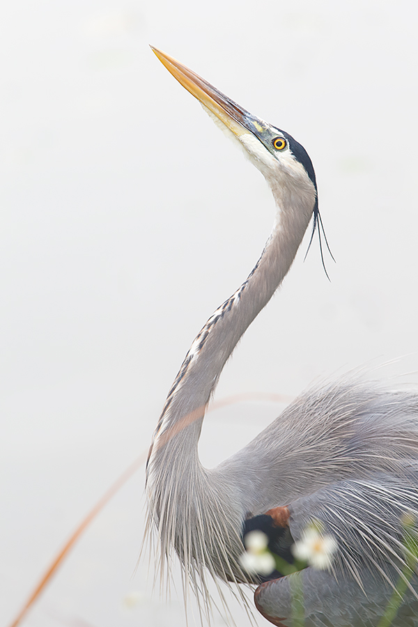 great-blue-heron-threat-display-against-another-in-fish-dispute-_y5o6197-anhinga-trail-everglades-national-park-fl
